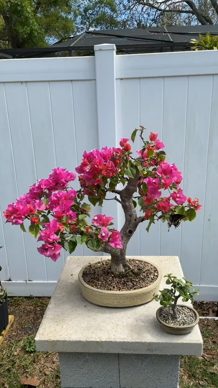 One of my Bougainvillea this morning