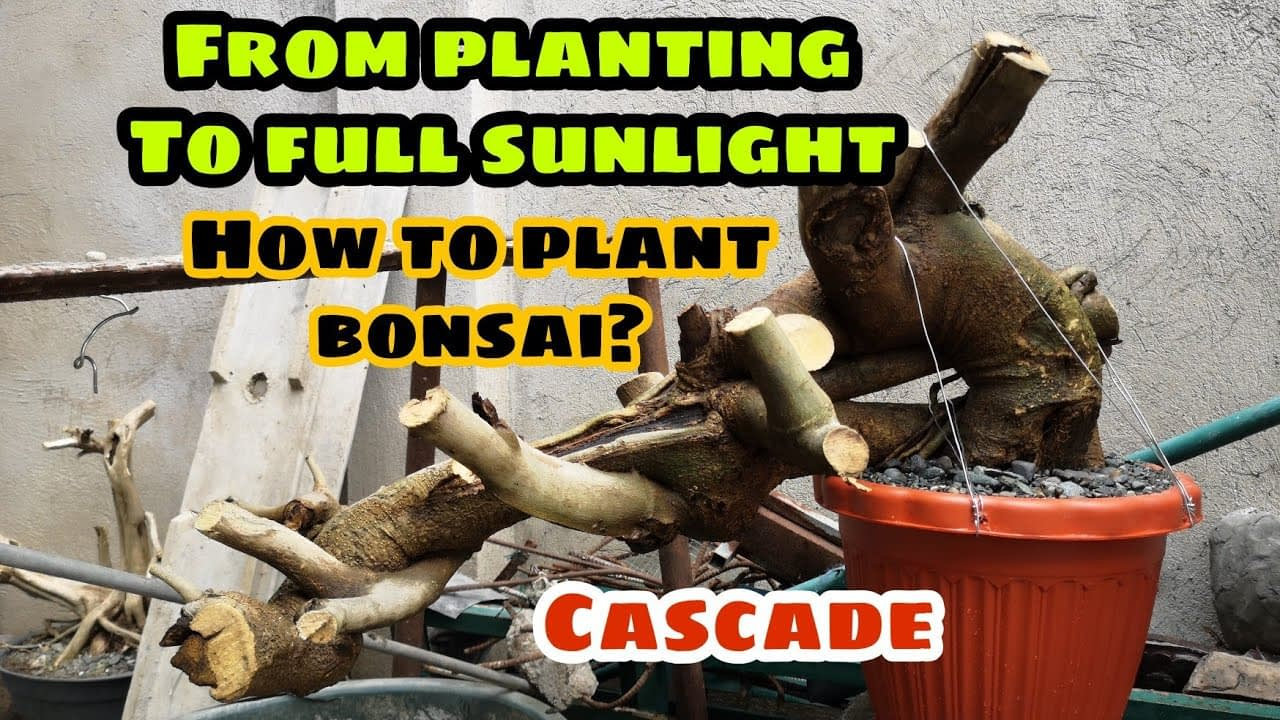 How to plant bonsai to full sunlight