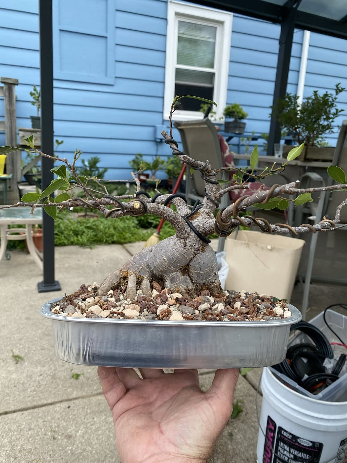 What can a ginseng ficus be used for?