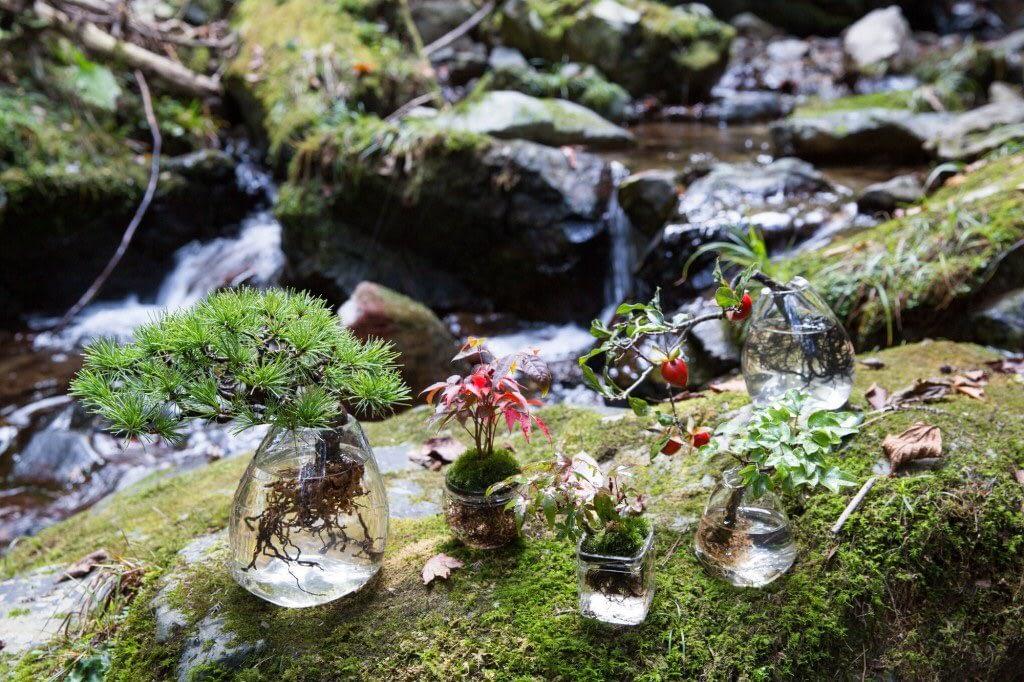 Aqua bonsai does not need soil