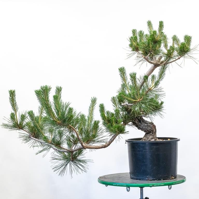 Decandling field-grown pines
