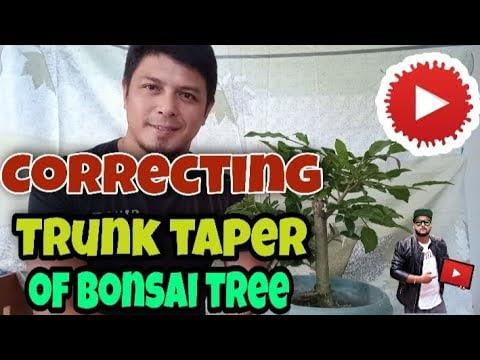 Correcting Trunk Taper of Bonsai Tree