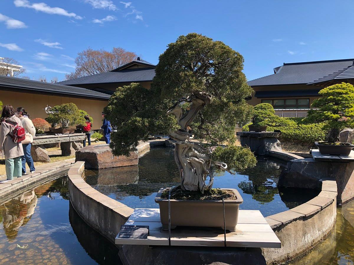 Shimpaku Estimated tree age 800 years