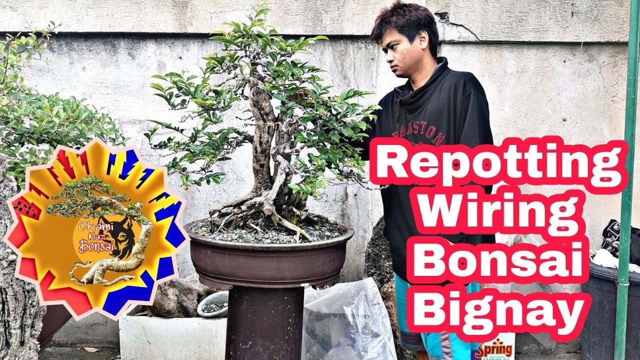 How to repot a bonsai