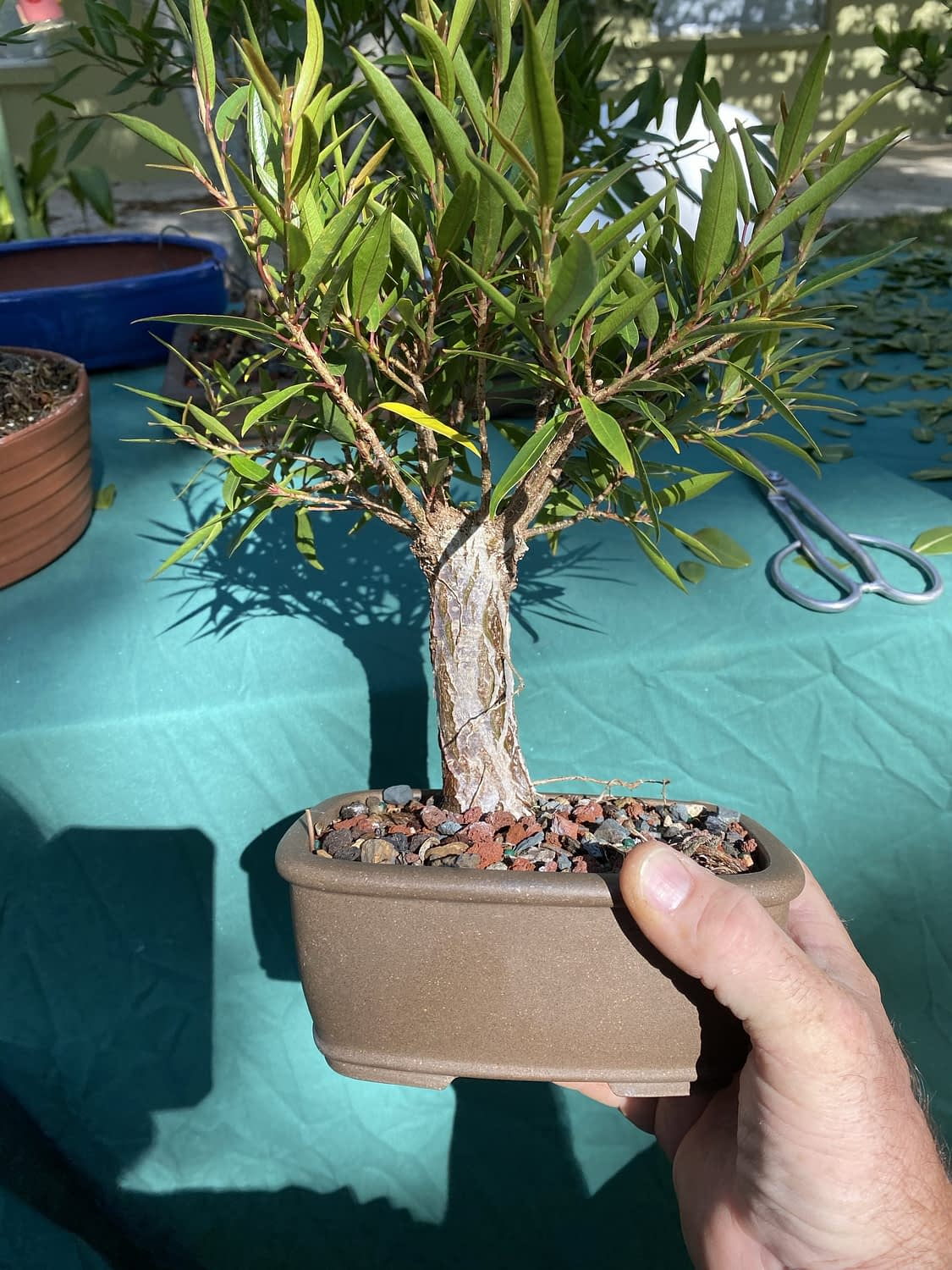 Just a plain old willow leaf ficus