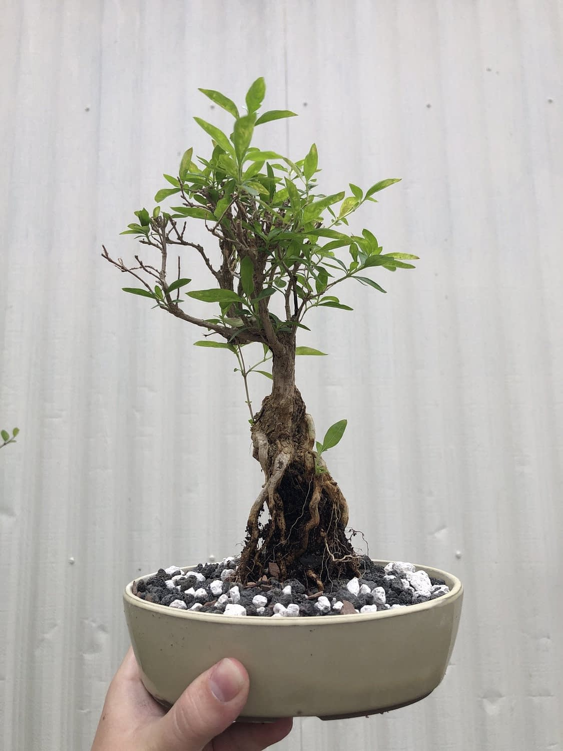 new willow-leaf fig I potted up the other day