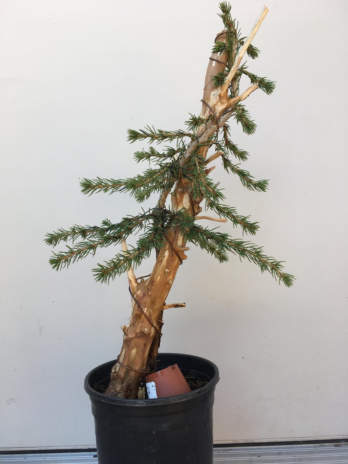Sometimes bonsai doesn't need to be perfect