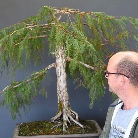 Swamp Cypress Bonsai Styling