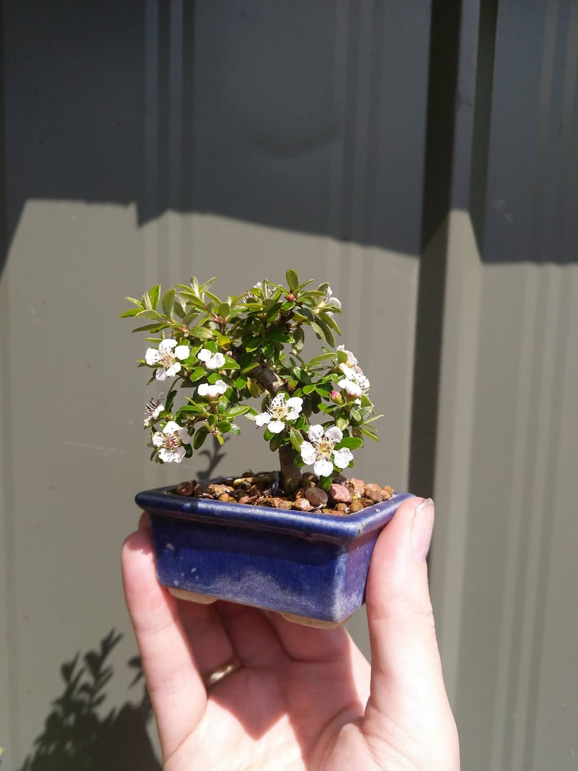 Shito cotoneaster in flower