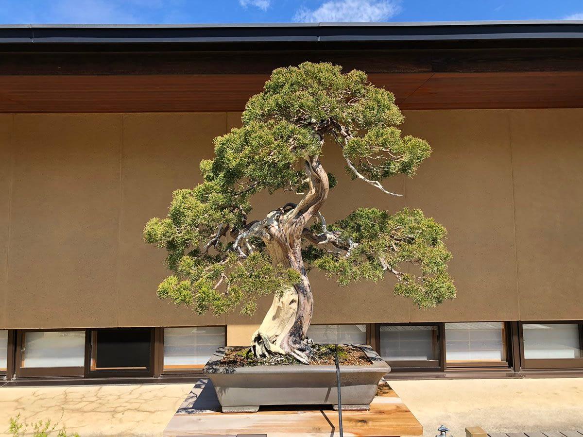 Shimpaku Estimated tree age 350 years