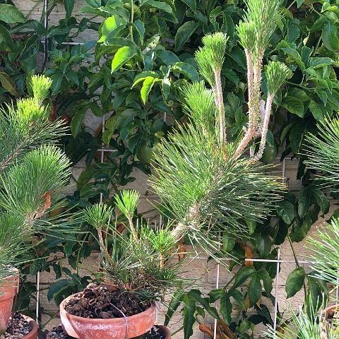 8 Tips for growing awesome shohin pine