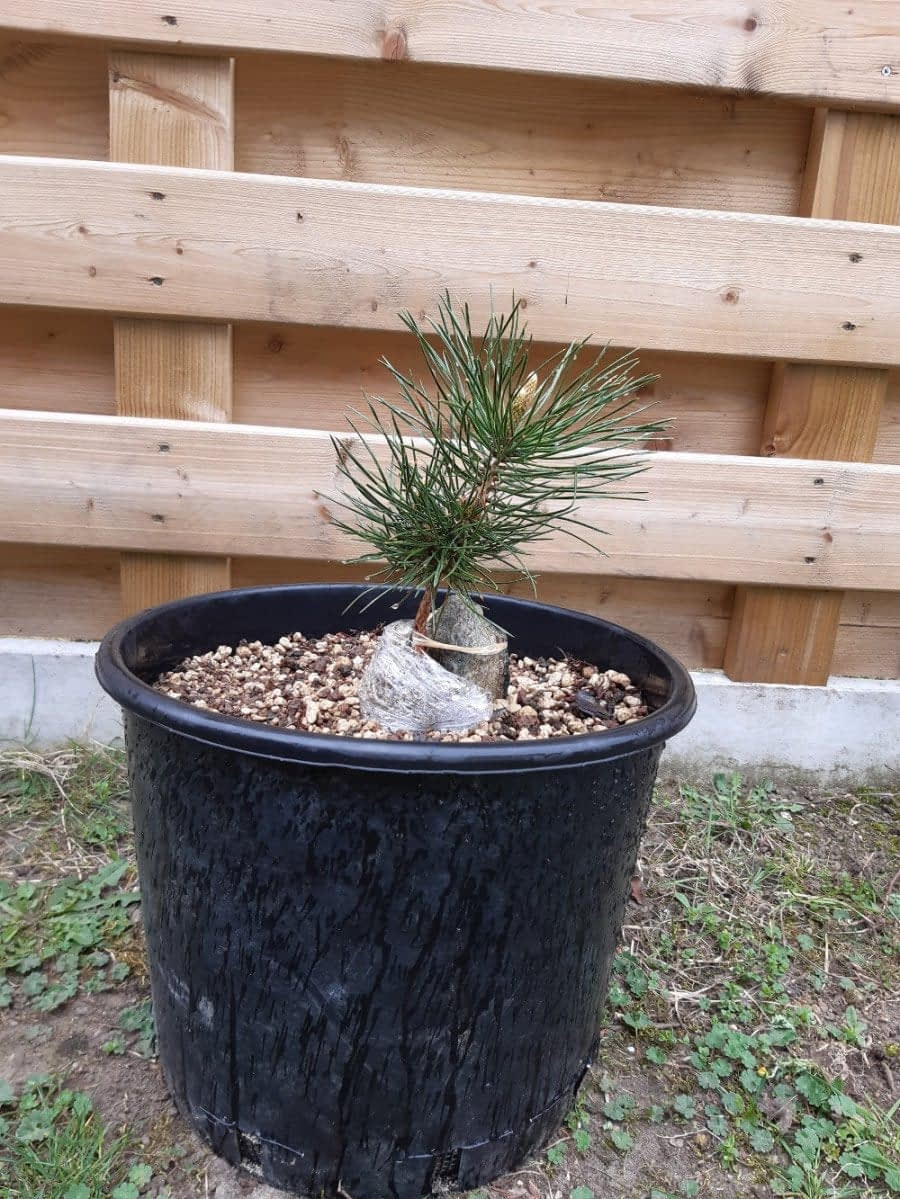 My Japanese Black Pine