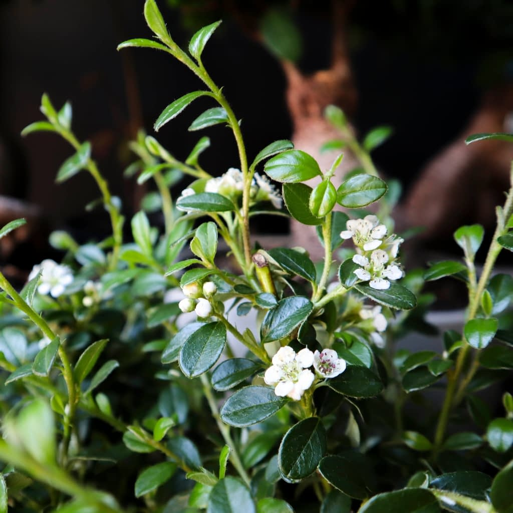 season for sweet little Cotoneaster blooms