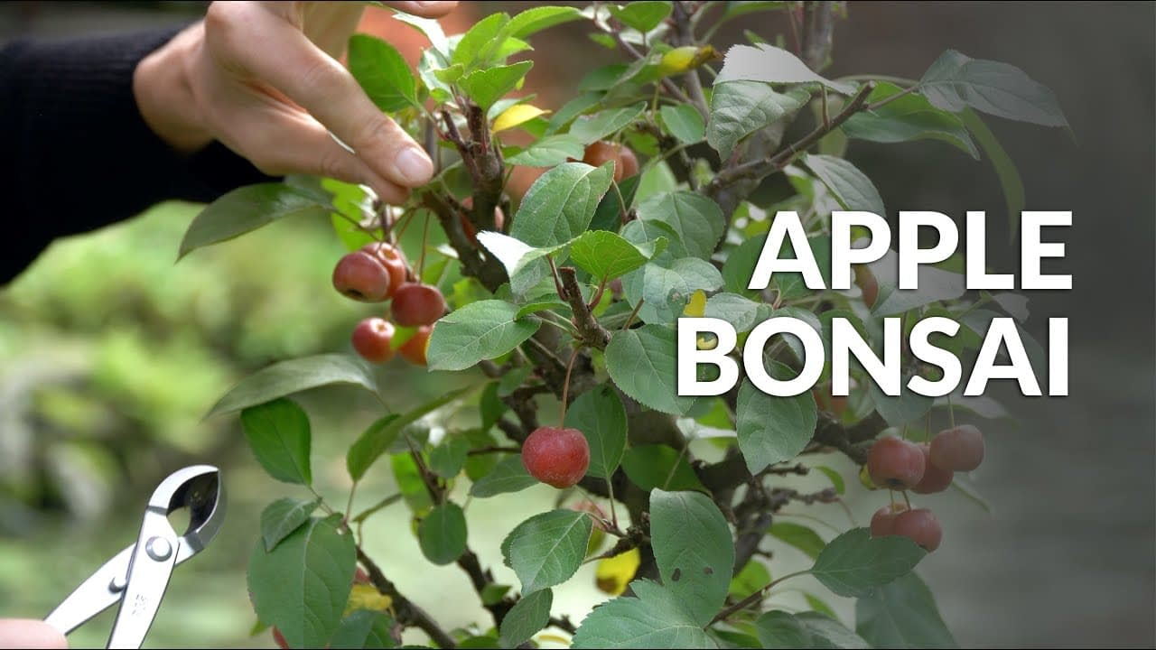 Making an Apple Bonsai tree