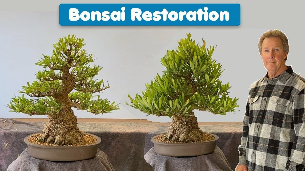 Bonsai Tree Restoration Old Man Banksia
