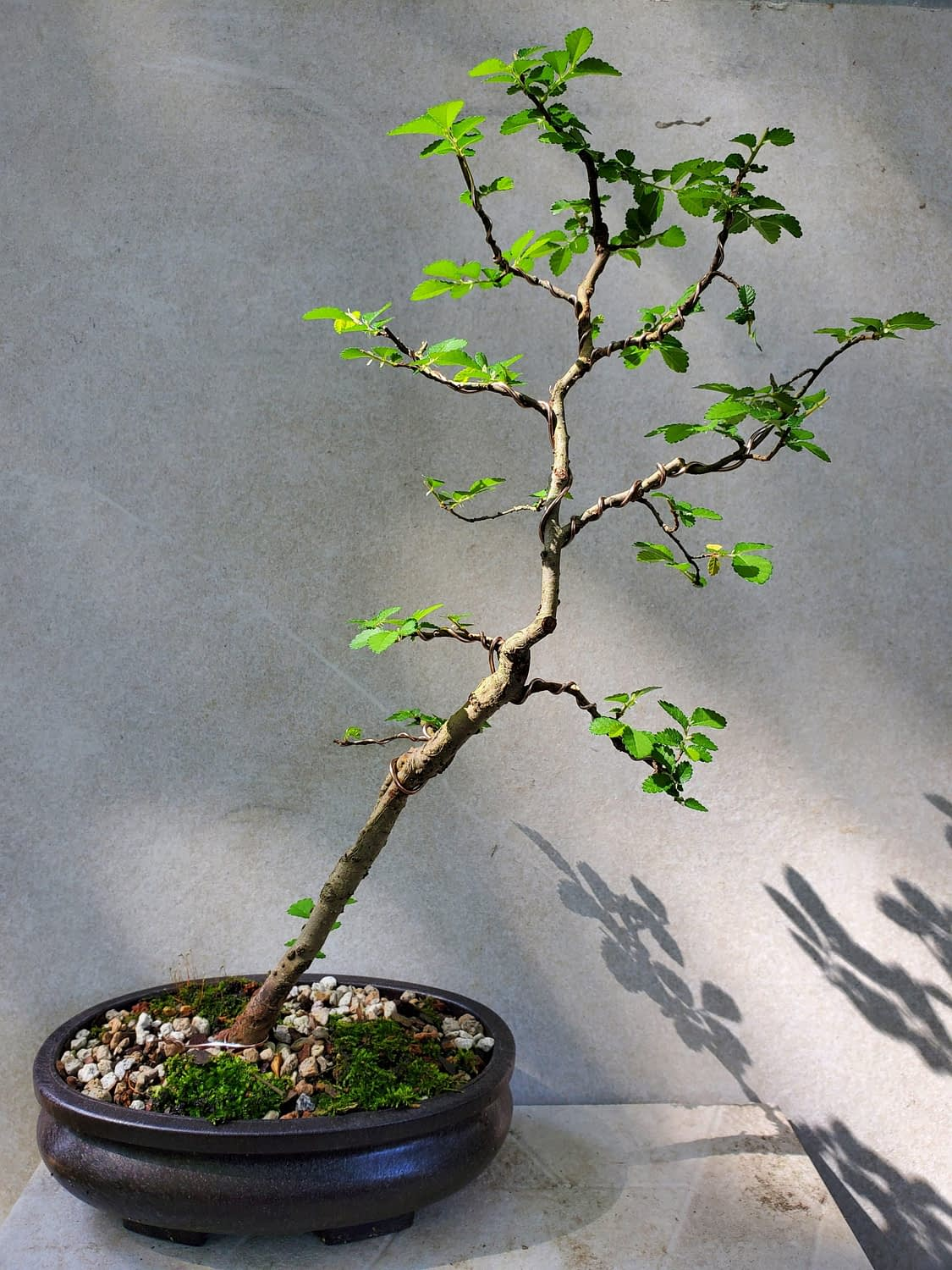Chinese Elm finished leafing out