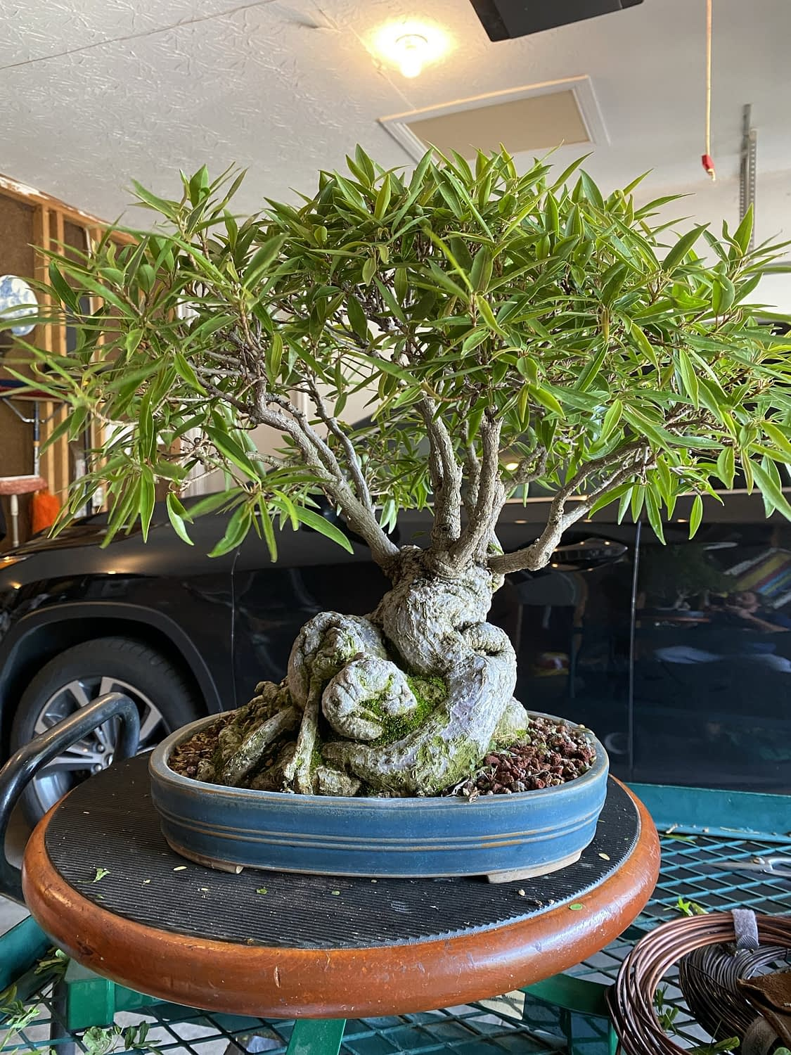 Another unfortunate northern ficus