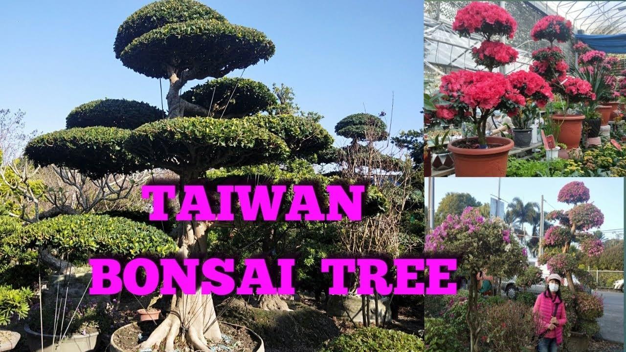 Taiwan Bonsai Tree