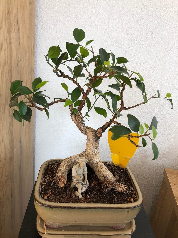 Ficus I inherited