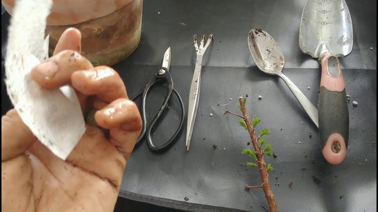 Repotting a Large Variety of Bonsai Trees