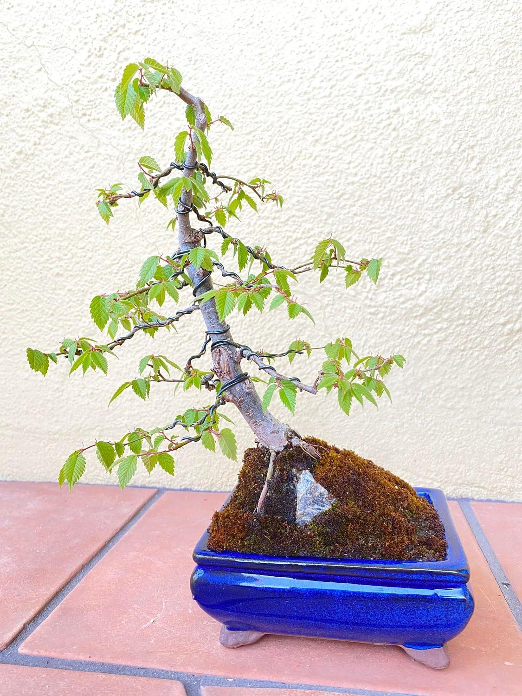 My first deciduous bonsai