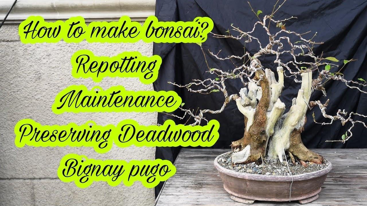 bonsai tree care maintenance