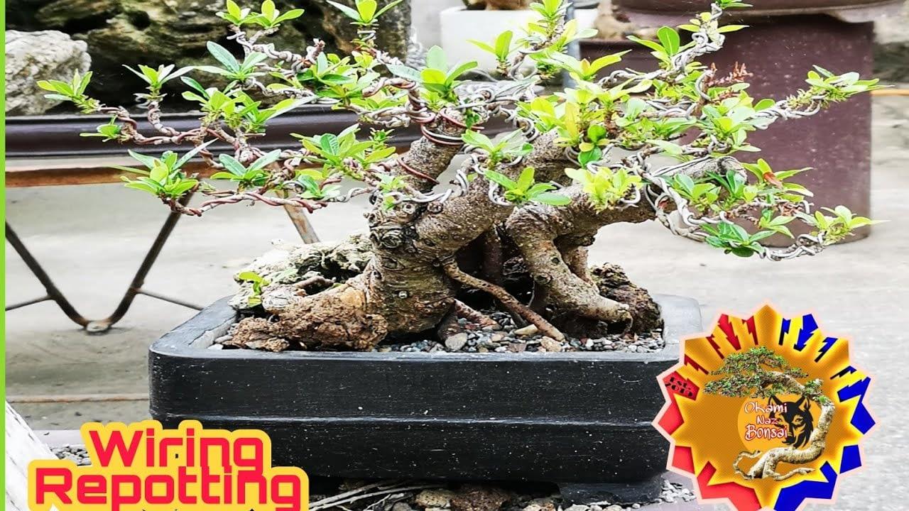 How to make bonsai santan